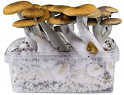 Magic Mushrooms Zucht